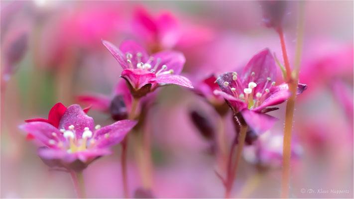 Rasen-Steinbrech [Saxifraga rosacea]
