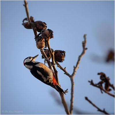 Buntspecht [Dendrocopos major Syn Picoides major] / wildlife