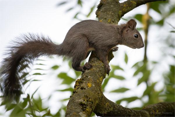 Eurasische Eichhörnchen [Sciurus vulgaris]  /  wildlife