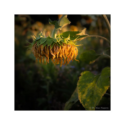 Sonnenblume [Helianthus annuus]