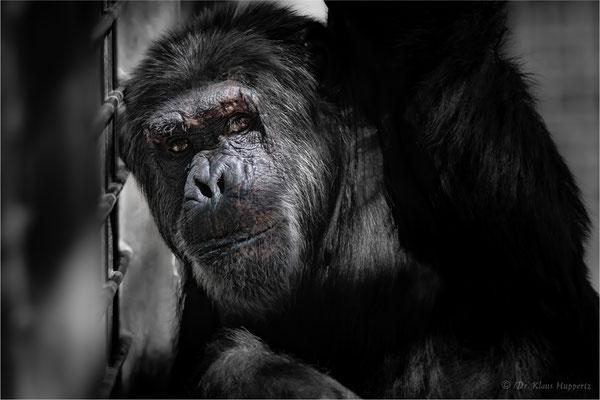 Schimpanse [Pan troglodytes]