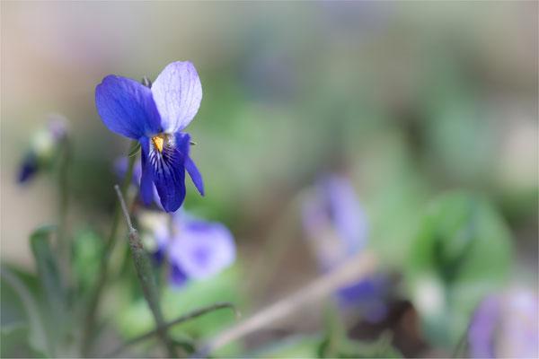 Duftveilchen [Viola odorata]