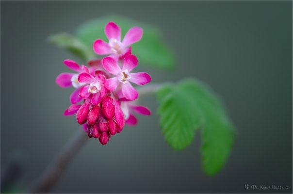 Blut-Johannisbeere [Ribes sanguineum]