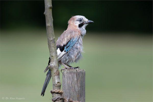 Eichelhäher [Garrulus glandarius] / wildlife