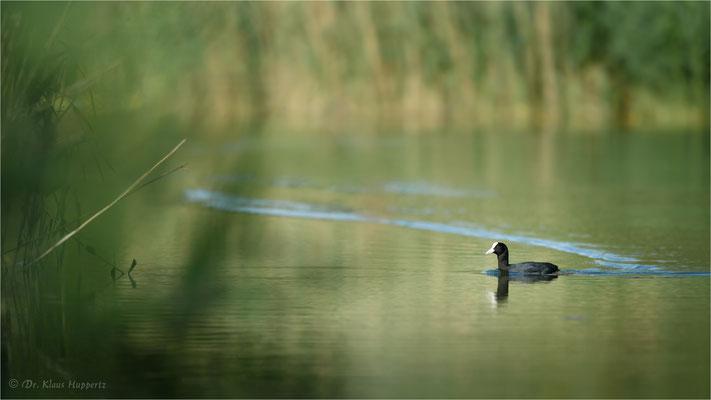 Blässhuhn [Fulica atra] / wildlife