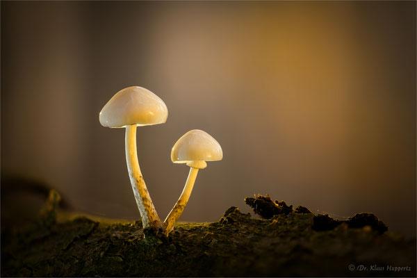 Buchen- oder Beringte Schleimrübling [Oudemansiella mucida]