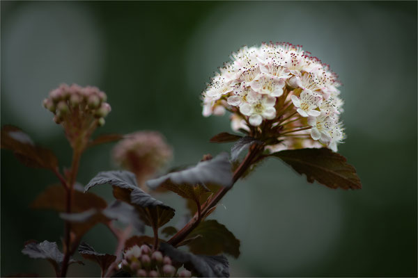 Schneeballblättrige Blasenspiere [Physocarpus opulifolius]