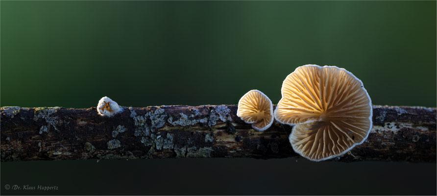 Stummelfüßchen  [Crepidotus spec.]