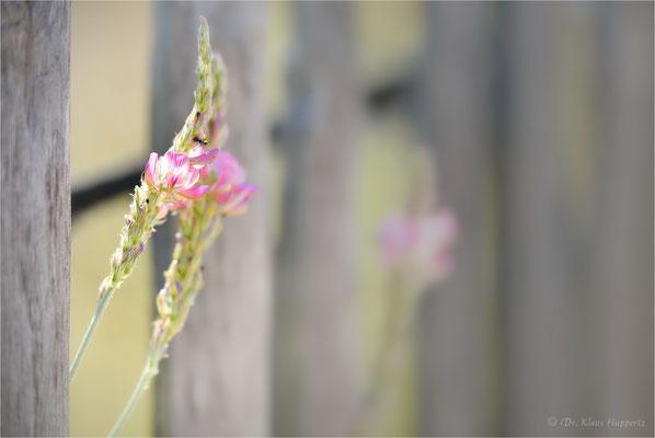 Esparsette [Onobrychis spec.]