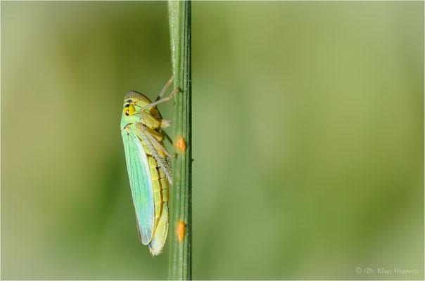 Grüne Zwergzikade [Cicadella viridis]