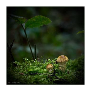 Hallimasch oder Honigpilz [Armillaria spec.]