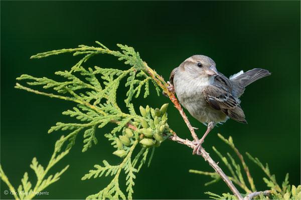 Haussperling [Passer domesticus]  /  wildlife