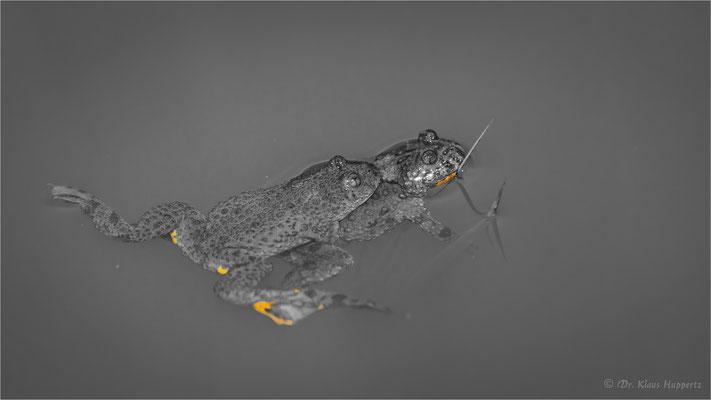 Gelbbauchunke [Bombina variegata] / color key  / wildlife