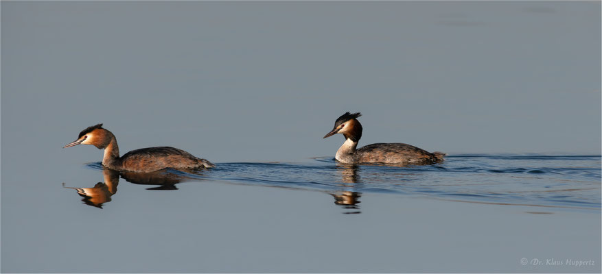 Haubentaucher [Podiceps cristatus]  /  wildlife