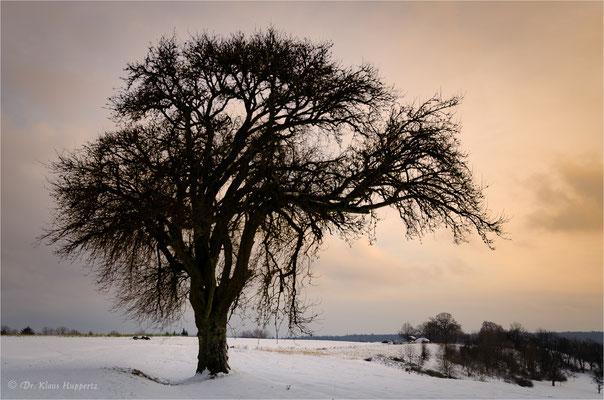 Baum bei Prevorst / Löwensteiner Berge / Baden-Württemberg