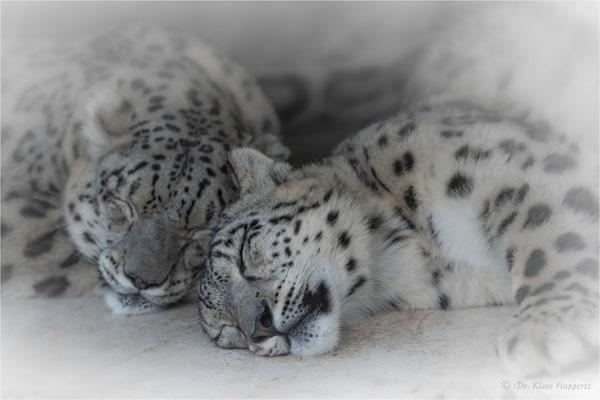 Schneeleopard, Irbis oder Unze [Panthera uncia]