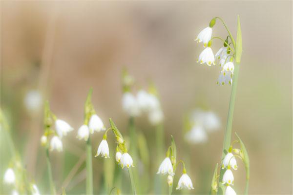 Frühlings-Knotenblume oder Märzbecher  [Leucojum vernum]