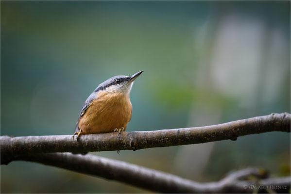 Kleiber [Sitta europaea] / wildlife