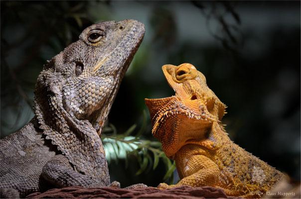 Kragenechse [Chlamydosaurus kingii] & Bartagame [Pogona vitticeps]