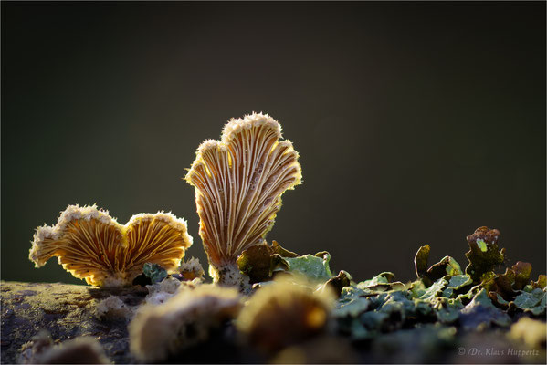 Gemeiner Spaltblättling [Schizophyllum commune]