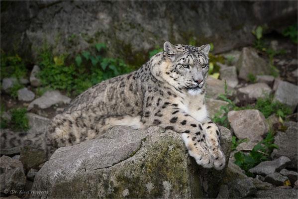 Schneeleopard oder Irbis [Panthera uncia]