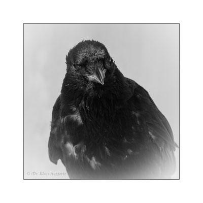 Aaskrähe [Corvus corone]  /  wildlife