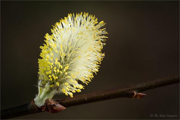 Salweide [Salix caprea]