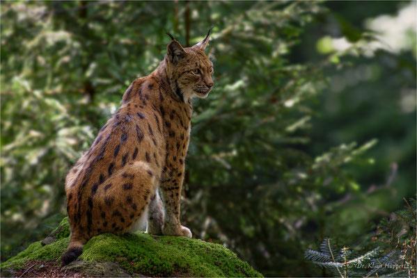 Eurasischer Luchs oder Nordluchs [Lynx lynx]