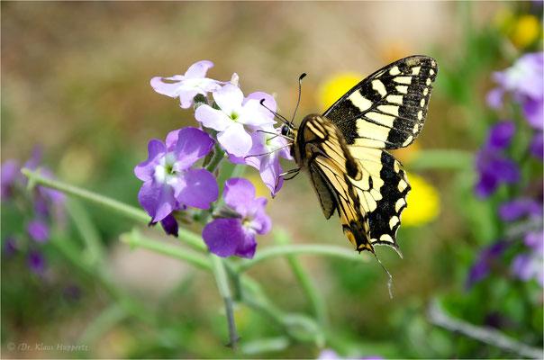 Schwalbenschwanz [Papilio machaon]