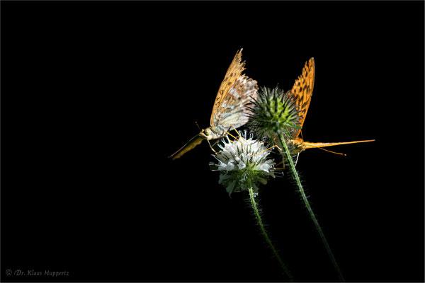 Kaisermantel [Argynnis paphia]