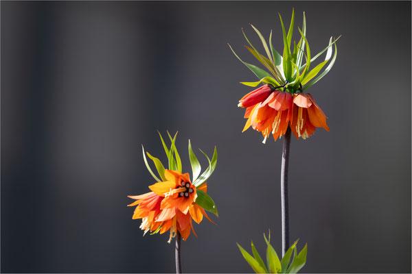Kaiserkrone [Fritillaria imperialis]
