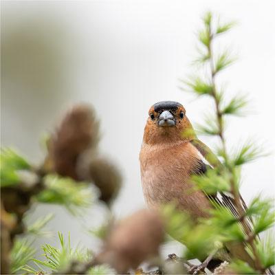 Buchfink [Fringilla coelebs]  /  wildlife
