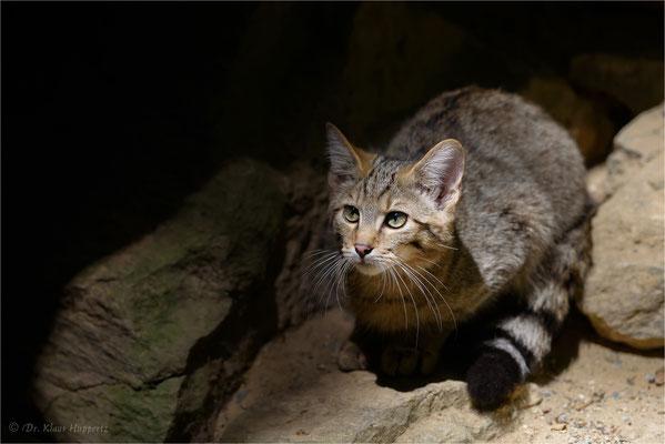 Wildkatze [Felis silvestris]