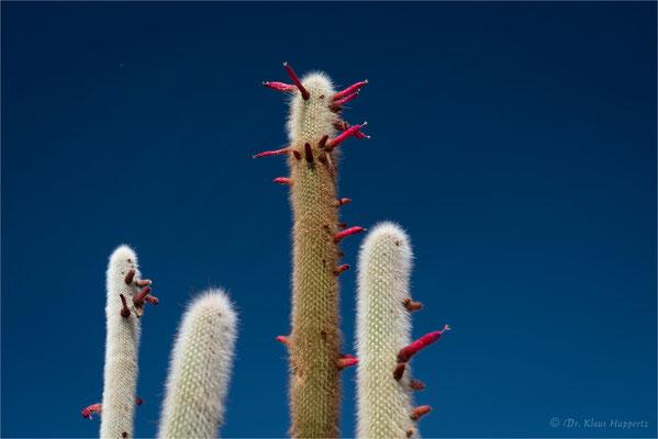 Silberkerzenkaktus [Cleistocactus strausii]