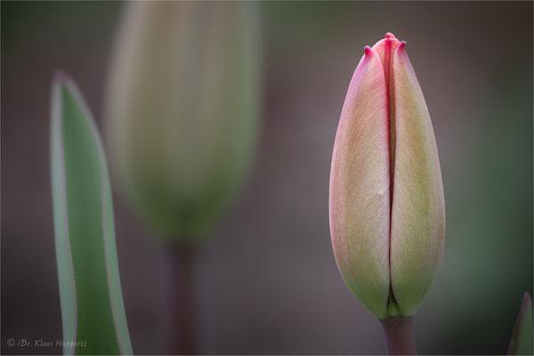 Blütenknospe der Tulpe [Tulipa spec.]