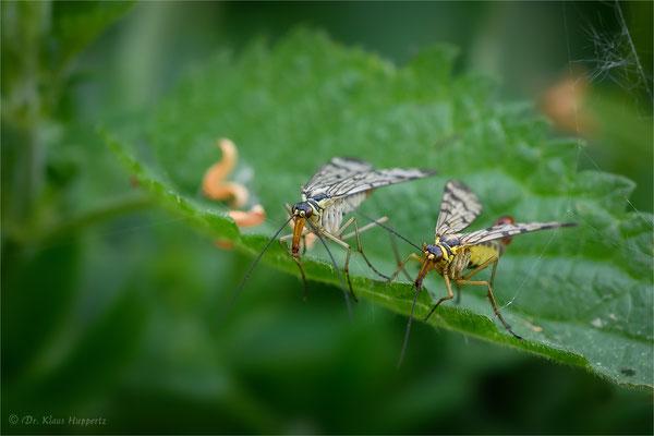 Gemeine Skorpionsfliege [Panorpa communis]