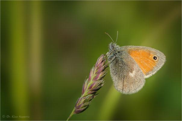 Kleines Wiesenvögelchen [Coenonympha pamphilus]