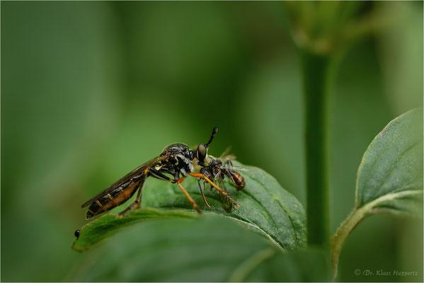 Gemeine Habichtsfliege [Dioctria hyalipennis]