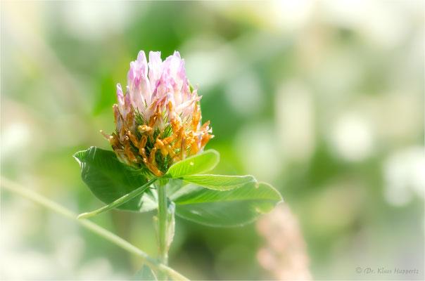 Wiesenklee [Trifolium pratense]