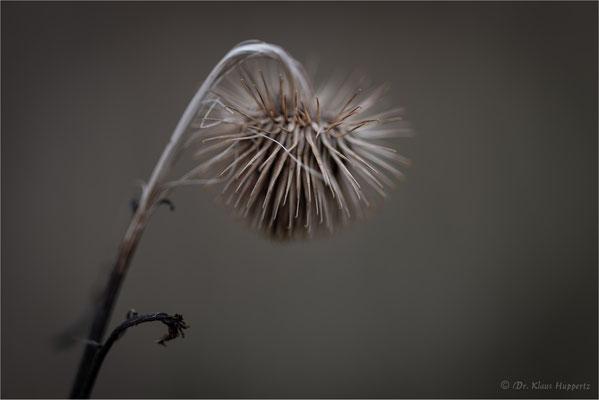 Kleine Klette [Arctium minus]