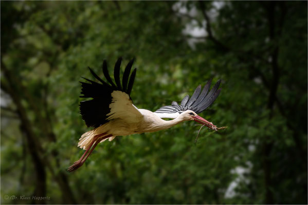 Weißstorch [Ciconia ciconia] / wildlife