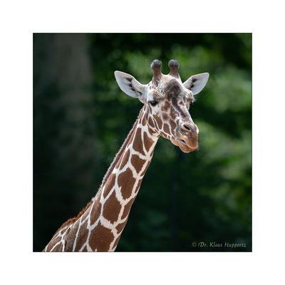 Netzgiraffe [Giraffa reticulata]