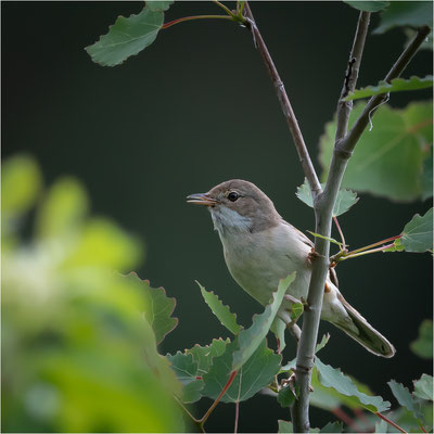 Dorngrasmücke [Sylvia communis]  /  wildlife