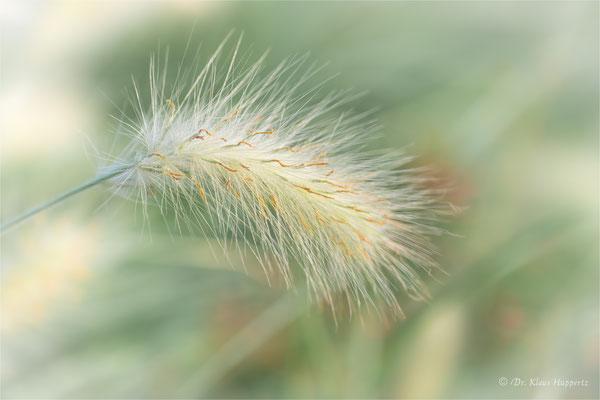 Weißes Lampenputzergras [Pennisetum villosum]