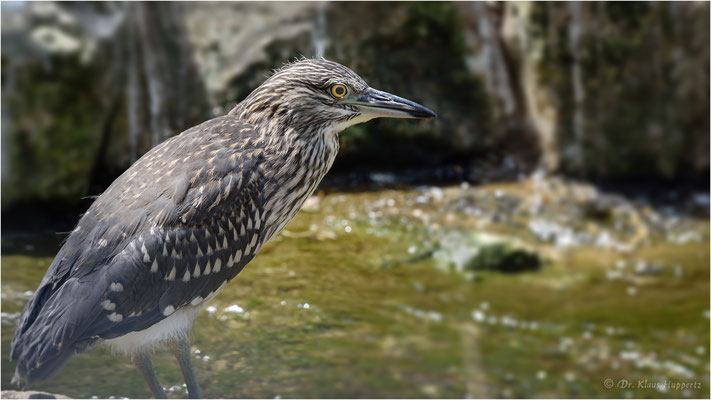 Nachtreiher Jungvogel [Nycticorax nycticorax]