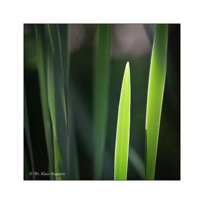 Sumpf-Schwertlilie [Iris pseudacorus]
