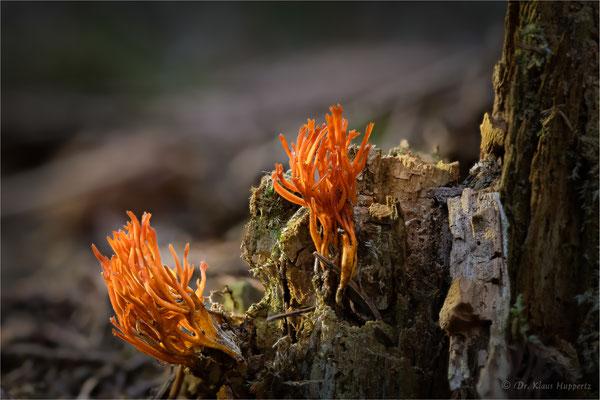 Klebriger Hörnling [Calocera viscosa]