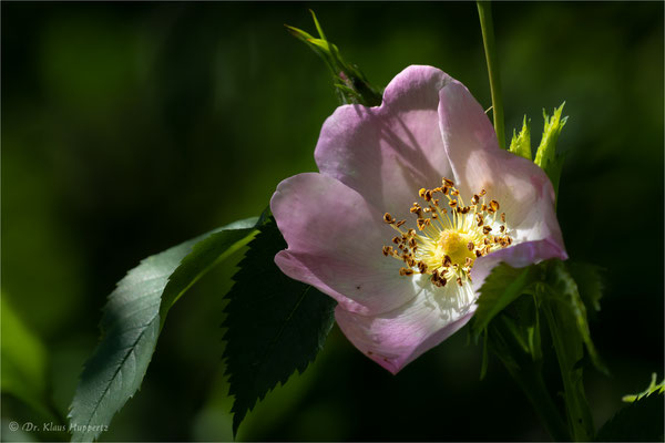 Hecken-Rose [Rosa corymbifera]