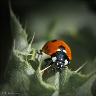 Siebenpunkt-Marienkäfer [Coccinella septempunctata]