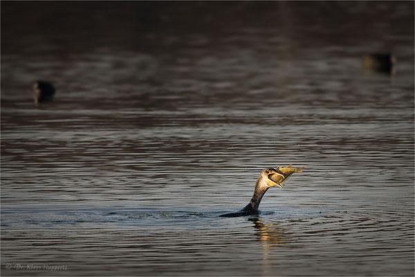Kormoran [Phalacrocorax carbo] / wildlife